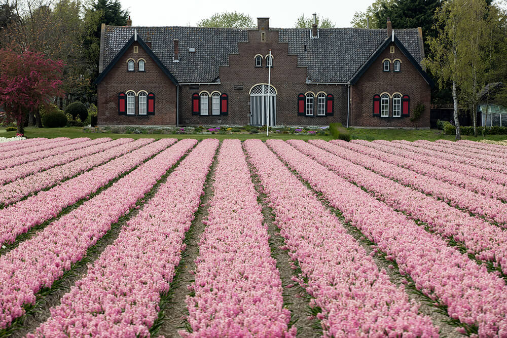 Pink hyacinth fields in Holland