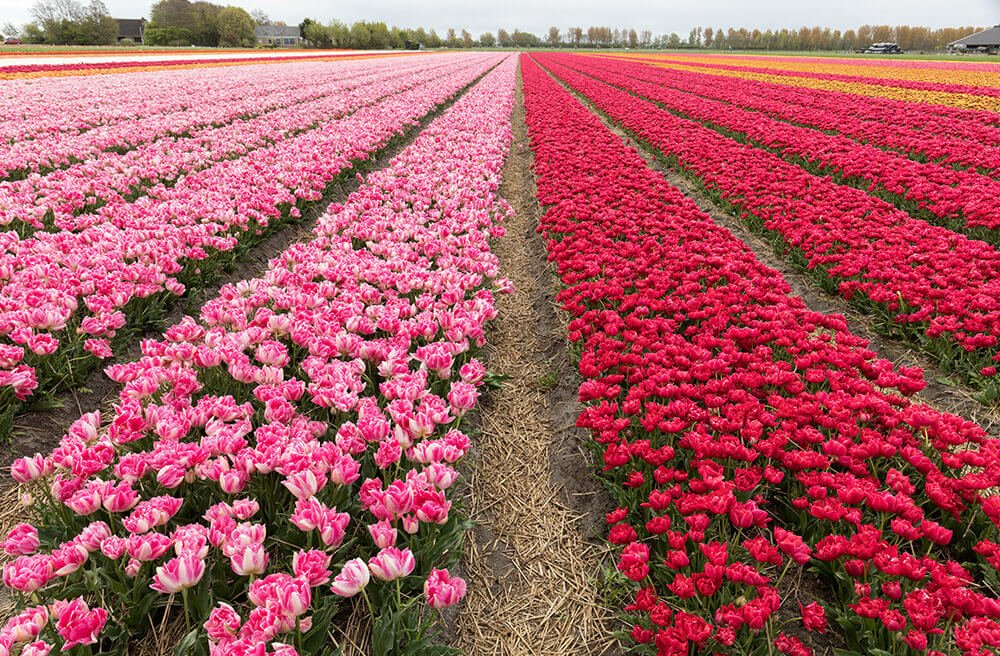 Netherlands Tulip Fields of red and pink
