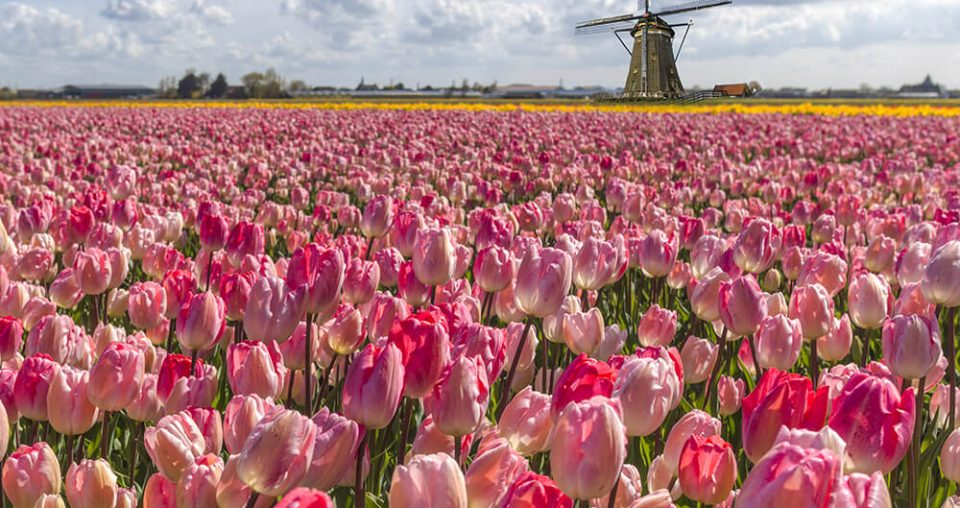 Where To Find Tulip Fields in The Netherlands: A Practical Guide