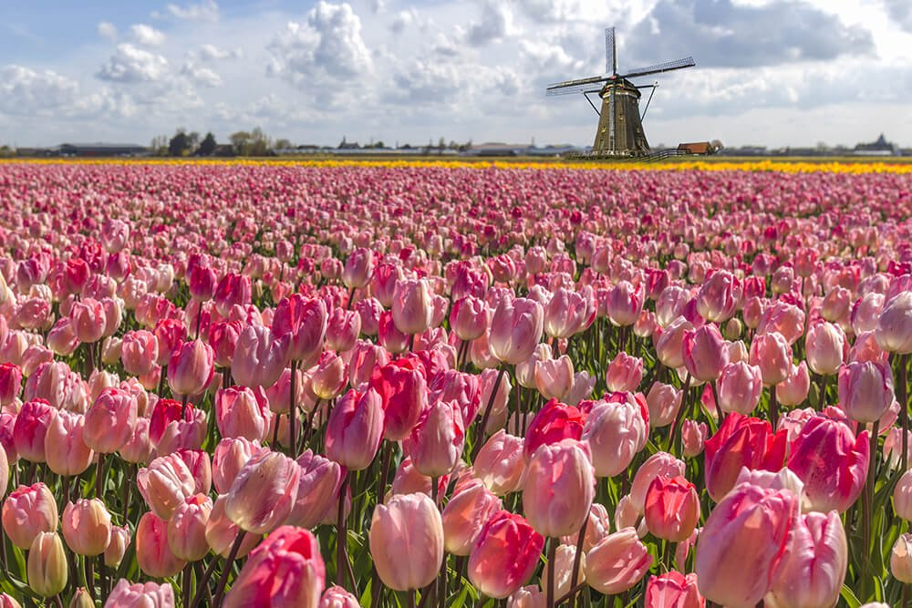 Tulip Fields Netherlands with windmill and pink flowers