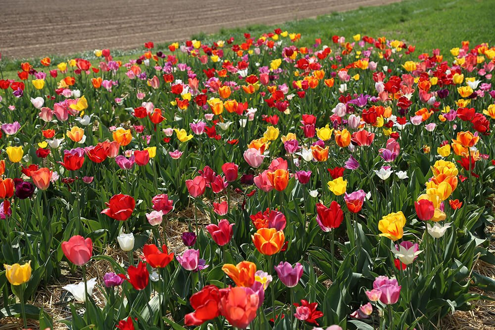 Tulip pluktuin garden