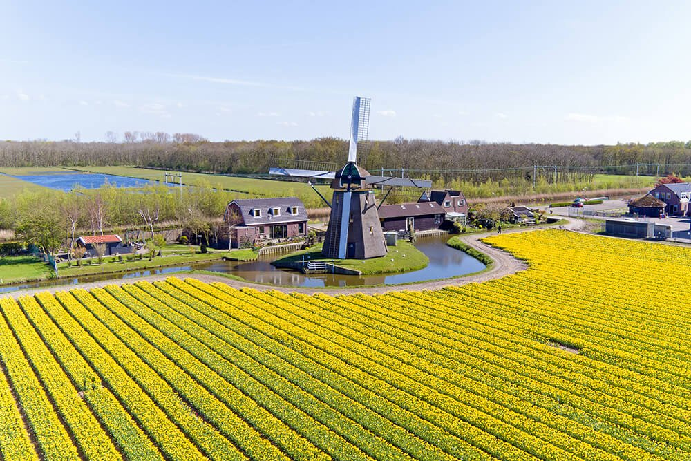 Holland tulip fields next to a windmill