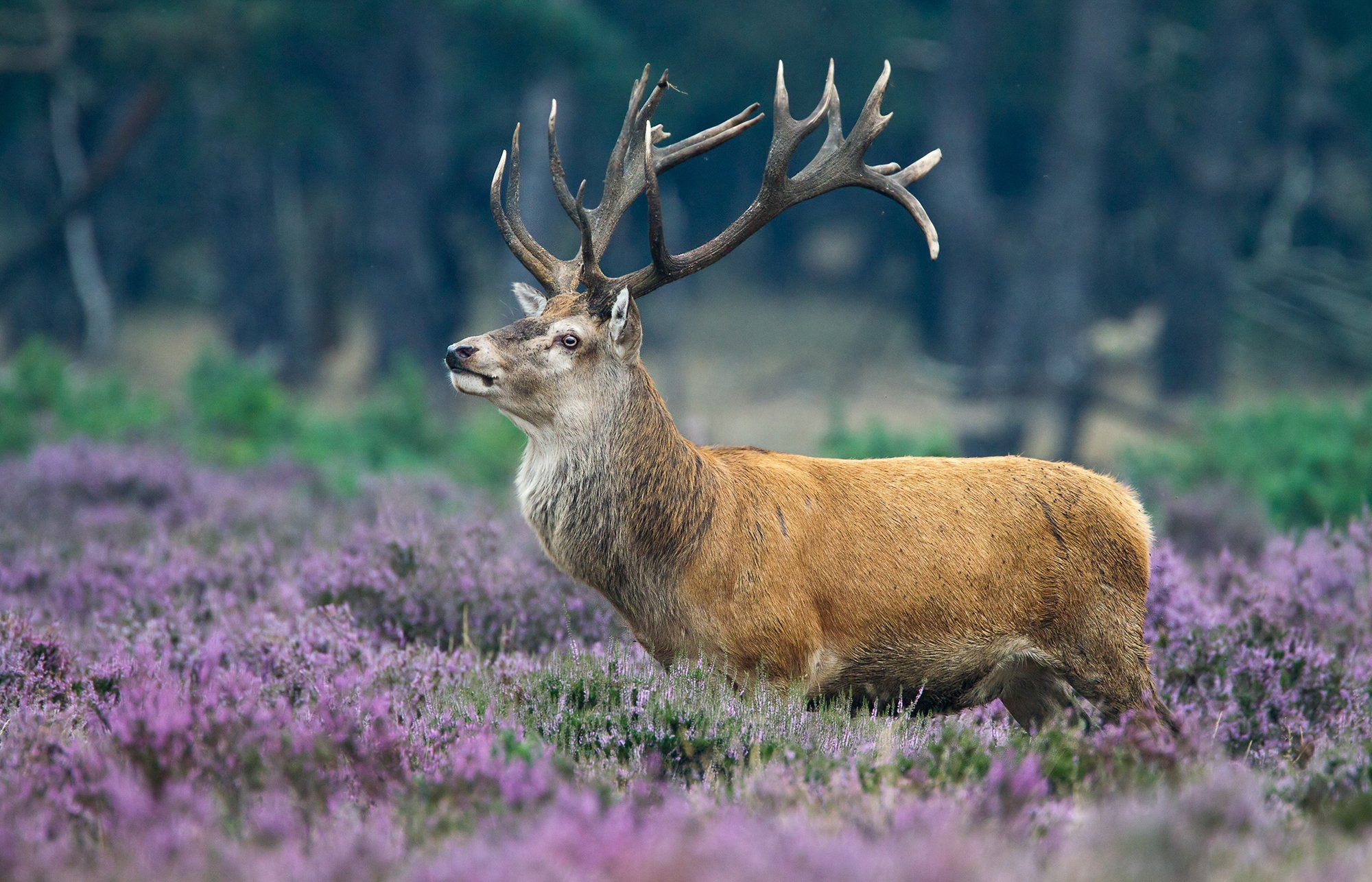 Red deer during mating season in the heathlands of De Hoge Veluwe national park