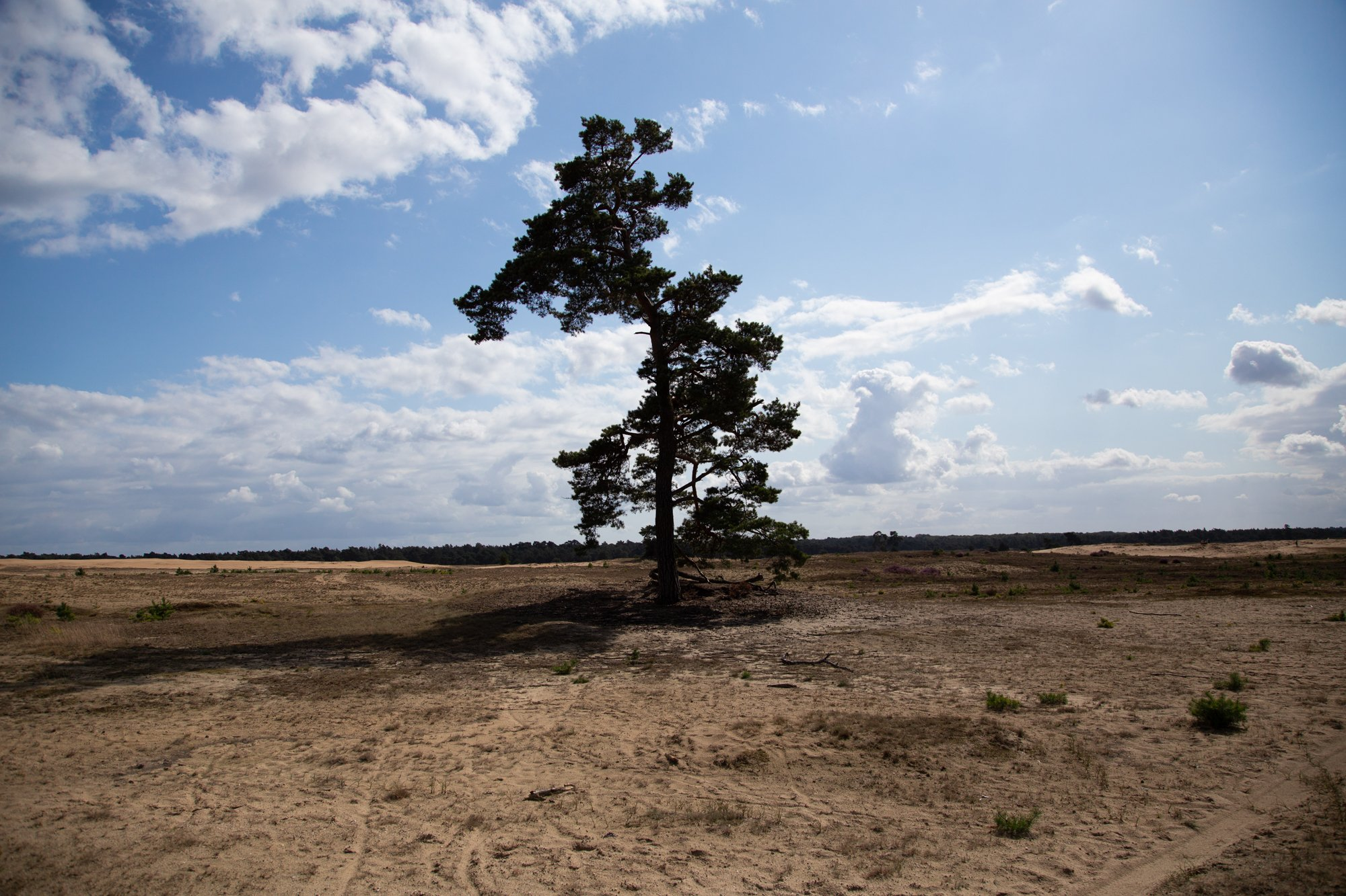Lone tree standing in dunes under a blue sky with branches in shadow