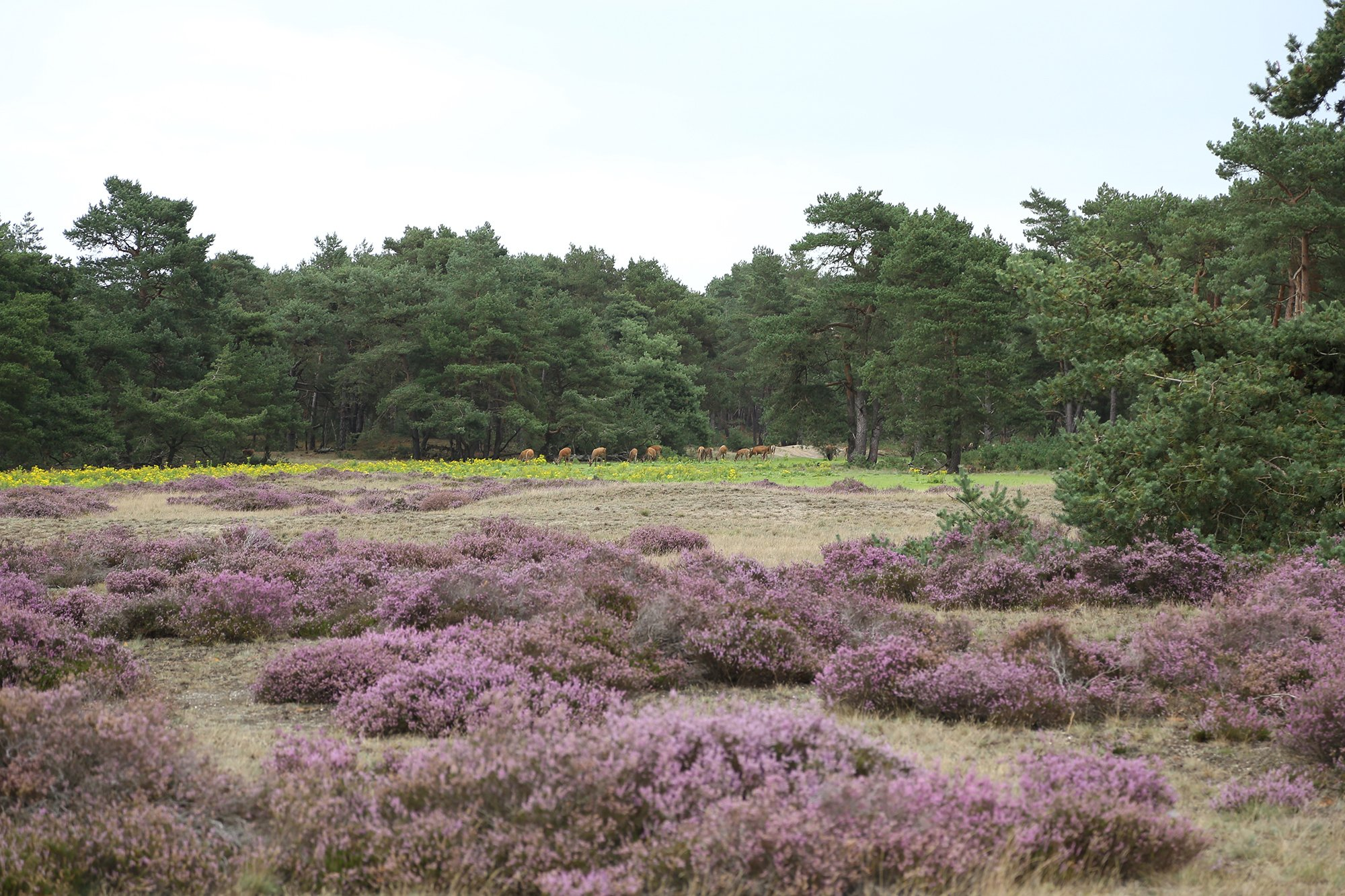 Purple heathlands in De Hoge Veluwe national park with deer grazing in the distance