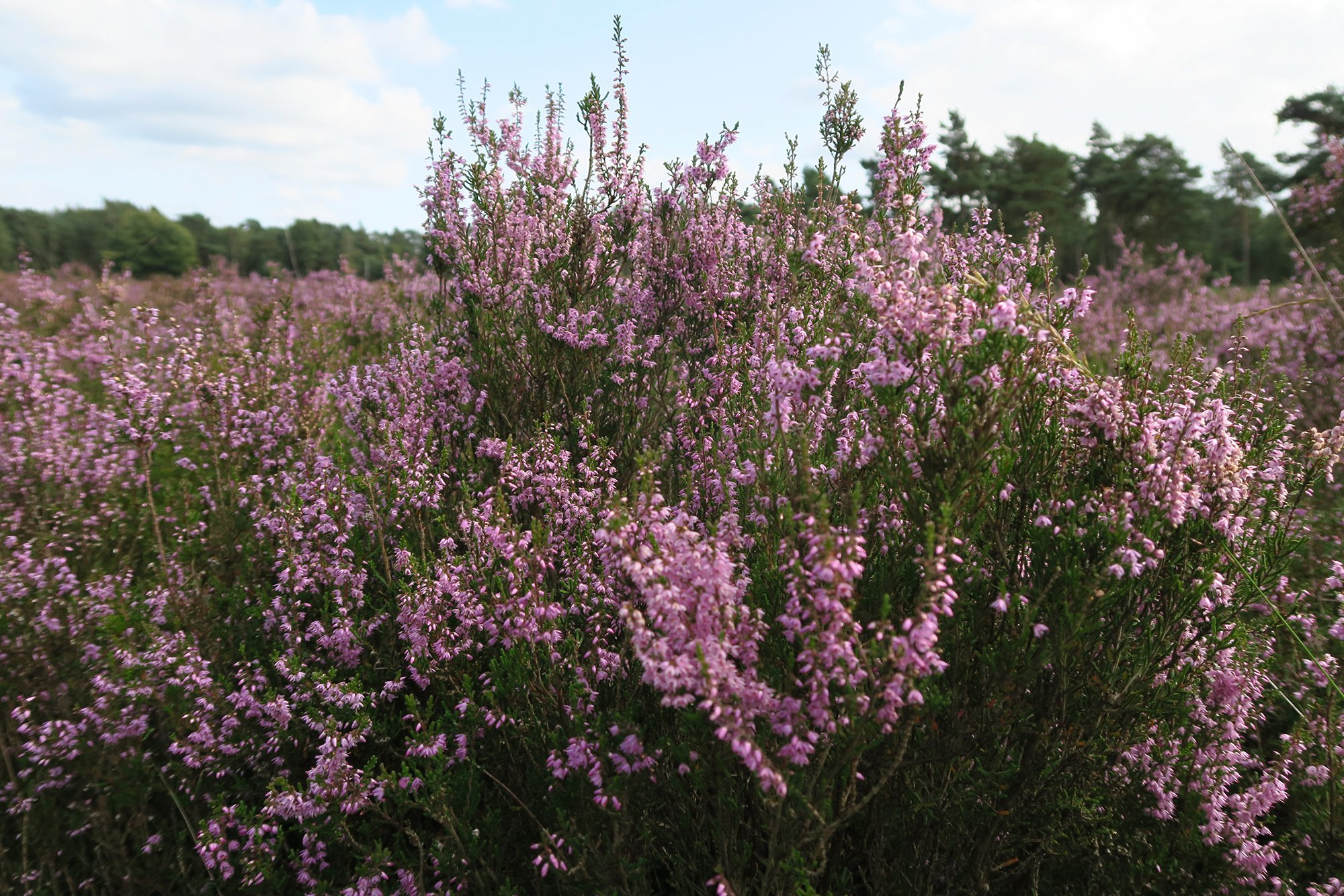 Purple heaths of De Hoge Veluwe