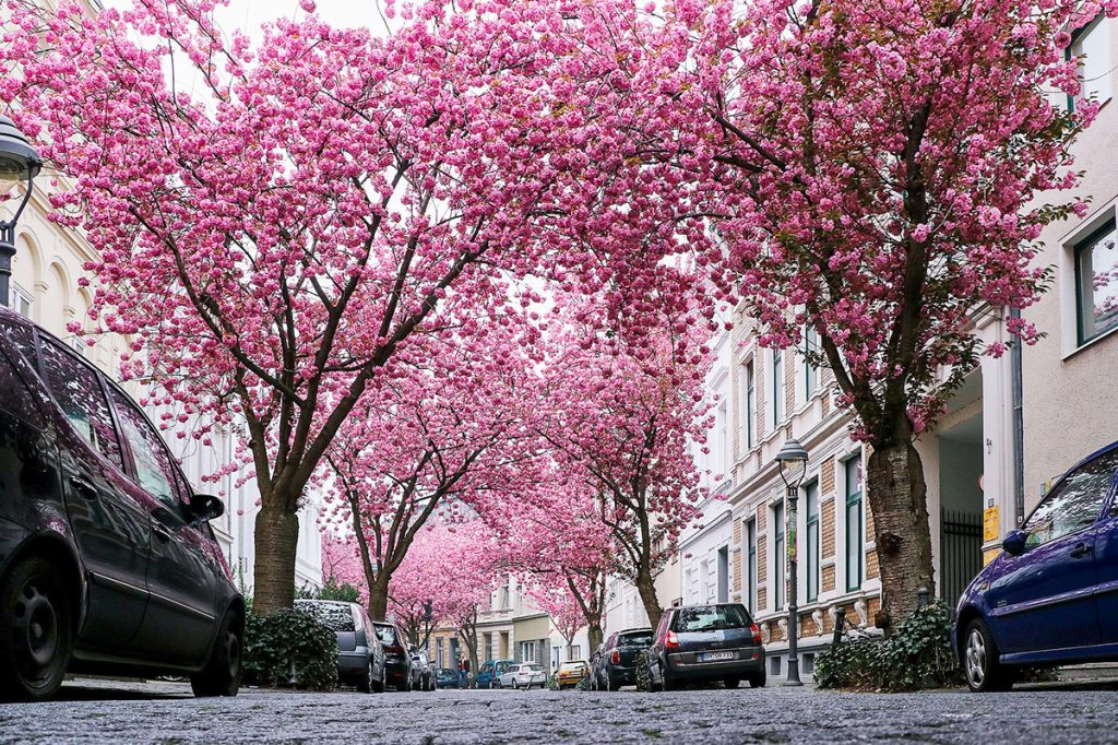 Heerstrasse cherry tree blossoms in Bonn