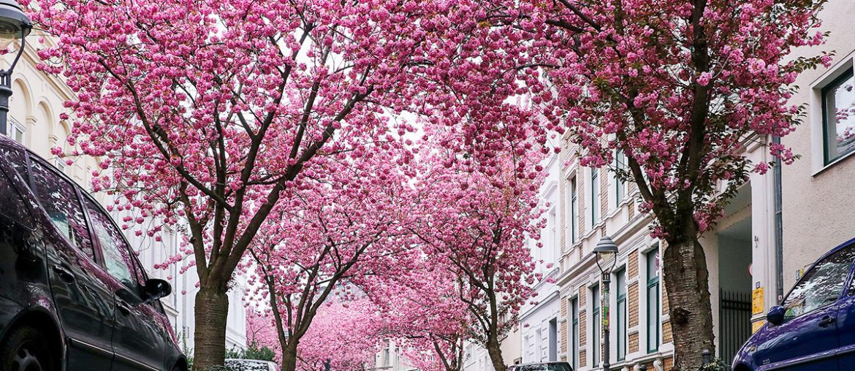 Heerstrasse cherry tree blossoms in Bonn