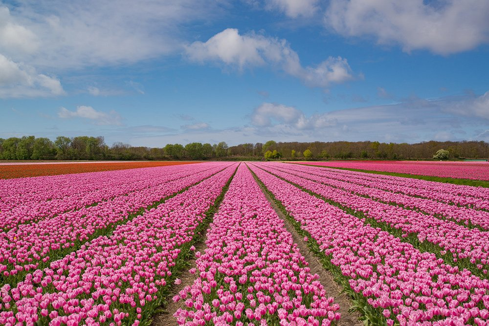Tulip fields in Holland: best time to visit Amsterdam