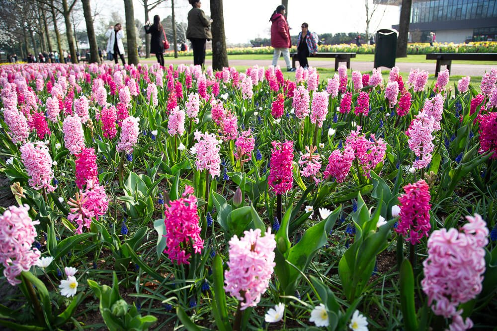 Hyacinths in bloom at Keukenhof